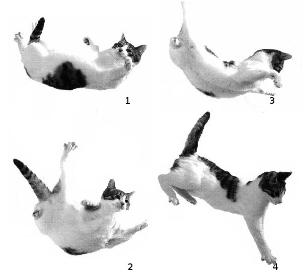 gatocae